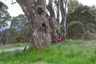 Trees marked with red paint along the Western Highway that are set for the chop, as the state government resists calls from traditional owners for works to halt until an upcoming court case is resolved.