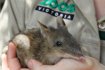 The eastern barred bandicoots will be released on French Island on Friday night.