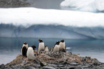 Gentoo penguins stand on rocks in Antarctica.