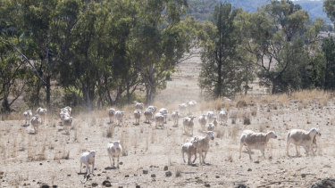 Sheep hunt for grass on a farm near Manilla, not far from Tamworth, in northern NSW.