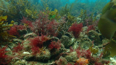 A healthy Australian oyster reef.