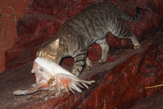 Feral cats are blamed for killing as many as 1 billion native animals each year.