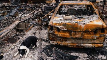 Piper, a border collie, is trained to lie down after discovering human cremains - in this case, they were in an urn on the boot of a burned-out vehicle in Paradise, California.