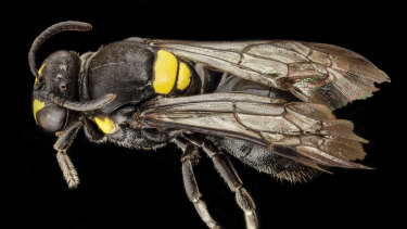 The Australian masked bee is about one centimetre long and has a small yellow badge on its back.
