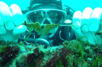 Baby giant kelp growing on twine.