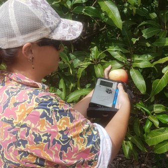 Shannon Leeson of Acacia Hills Farms tests mangoes using the monitoring technology.