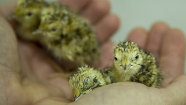 The captive population of the critically endangered plains-wanderer almost doubled overnight in March with the hatching of nine eggs.