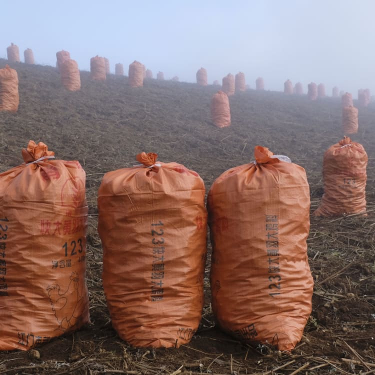 Bags of Jerusalem artichokes ready to be transported in the fields near Zhuanshanbao village, Yunnan.