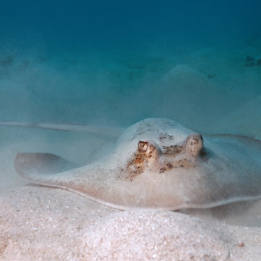Butter wouldn't melt ... a grey stingray on the Great Barrier Reef.
