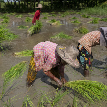 Women working in a paddy field in the Irrawaddy region of Myanmar in August.