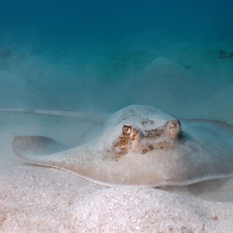 The butter would not melt ... The Gray Stingray of the Great Barrier Reef.