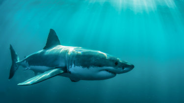 The smart drumlines' target species in WA is the white shark.