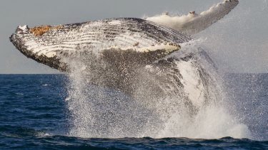 Humpback whales have recovered in numbers, with an estimated 30,000 travelling Australia's east coast in 2018.