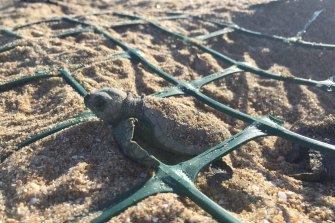 Turtles are shielded by protective netting on the beach.