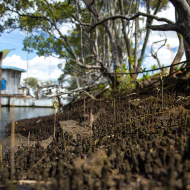 Most of the mangroves have made way for heavy industry on Gibson Island.
