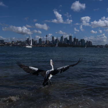 A pelican, who spent the last three-weeks recovering from botulism, flies off after being released.
