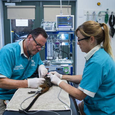 Dr Vogelnest and the veterinarian team conduct their annual check-ups on the Zoo's tamarins.