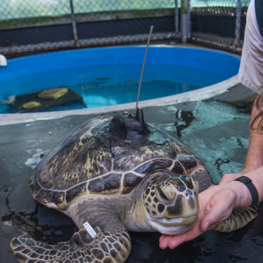 The black tracker on Squishy's shell will allow the zoo to monitor the turtle's movements after her release.