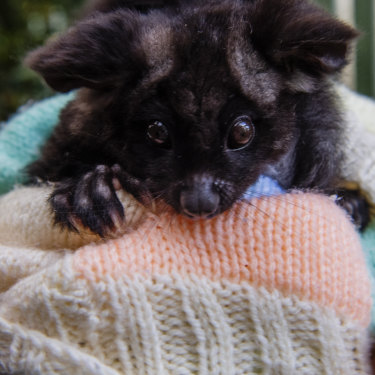 A Greater Glider, a threatened species, peaks out of a knitted pouch.