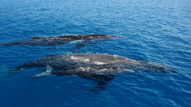 Humpback whales which can be seen in Moreton Bay during whale season.