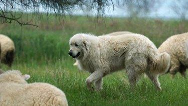 A Maremma sheepdog