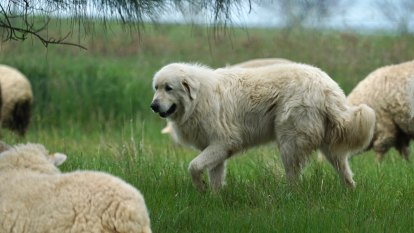 A flock of sheep, two giant dogs, and a bunch of bandicoots - an unusual solution to extinction?