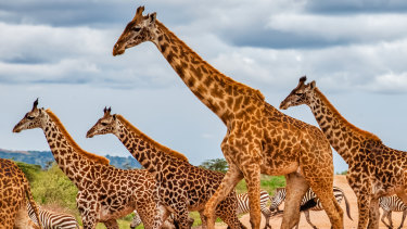 New research shows giraffes care for family members in a way associated with the most intelligent animals.