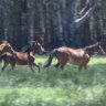 Parks Victoria plans to cull up to 600 wild horses in Barmah Forest