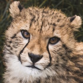 Solo the cheetah cub at National Zoo now on public display