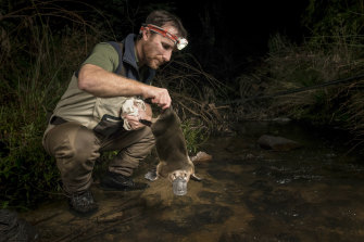 Platypus researcher Joshua Griffiths returns a male platypus to a creek after it was captured as part of a study.