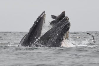 A humpback whale traps a sea lion while feeding in Monterey Bay.