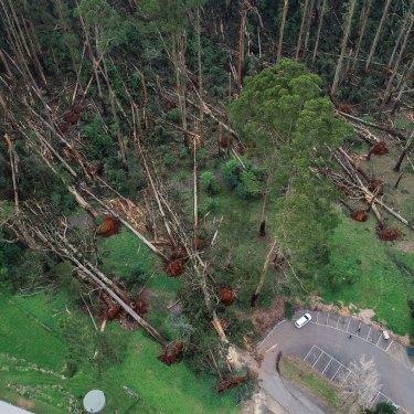 Massive trees fell like ninepins near Mount Dandenong Primary School.