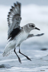 The Grey Plover is in precipitous decline.