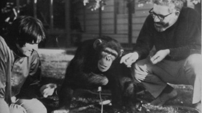 Psychologist taught American sign language to chimp
