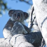 Not going anywhere: the government appears to be sticking by its policy for the protection of koala habitat.