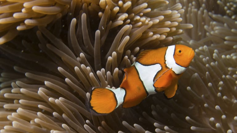 A clown fish on the Great Barrier Reef. The $444 million grant continues to attract attention.
