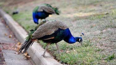 Under Brisbane City Council's newly proposed law it would be illegal to own a peafowl in a residential area.