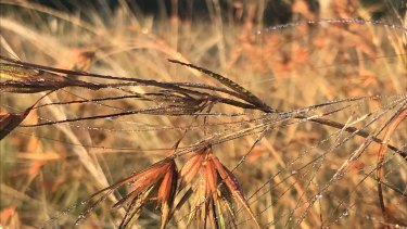 Kangaroo Grass (Themeda triandra), photographed elsewhere in Royal Park, is one of the 27 species sown in the trial.