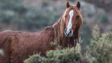 Brumbies have run wild in Kosciuszko National Park for more than 150 years.