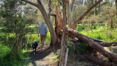 Kate's husband and dog walking amongst trees damaged in Thursday night's ferocious winds.