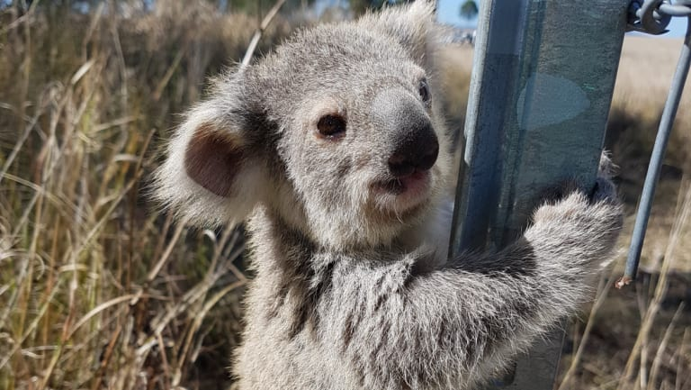 Only two out of 180 tagged koalas that were relocated on the Gold Coast have been rediscovered. (File image)