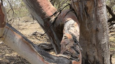 River red gums are among the species that will be protected on the Rummery's property.