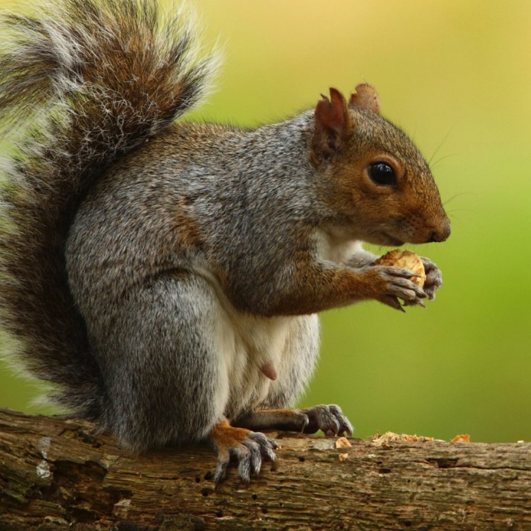 Why are Londoners eating squirrel lasagne?
