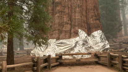 World's largest tree wrapped in aluminium as raging fire nears