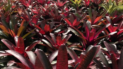 The perfect plant?  Bromeliads can be ignored for months