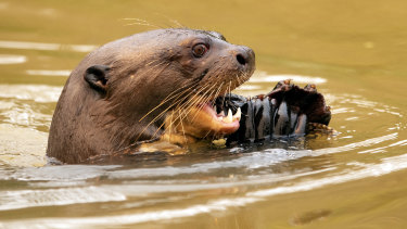 An otter eats a fish at the Encontro das Aguas park at the Pantanal wetlands near Pocone, Mato Grosso state.
