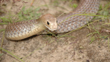 An eastern brown snake, whose bite can kill a human within a few hours.
