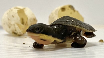Tiny hatchlings giving hope to endangered species
