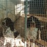 Animal cruelty fears for 300 dogs trigger raids at rural NSW puppy farms