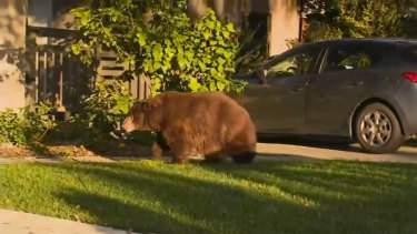 This image provided by KTTV FOX 11 shows a bear walking on the front yard of a home in Monrovia, California.